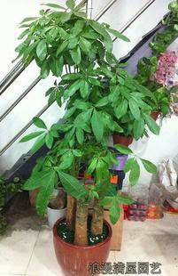 富贵竹-大型发财树