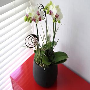 订花服务-白色蝴蝶兰