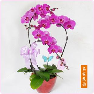 鲜花公司-蝴蝶兰