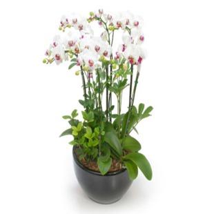 鲜花快递网-蝴蝶兰