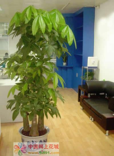 鲜花公司-发财树5