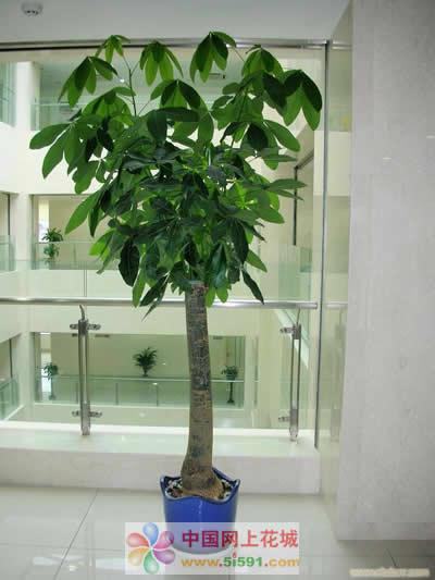 预订鲜花-发财树6