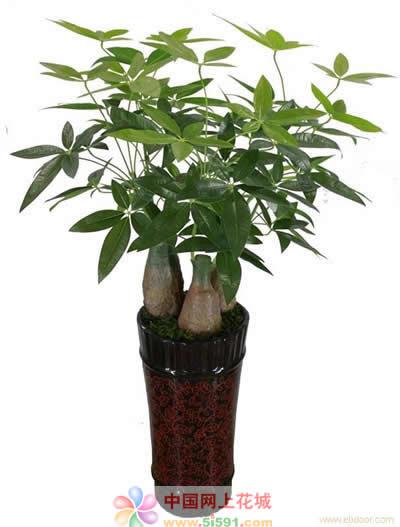鲜花速递网-发财树7