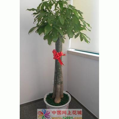 鲜花定购-发财树8