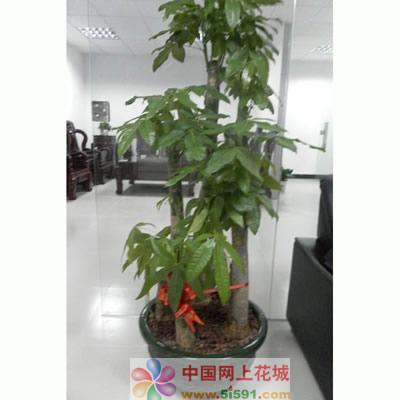 鲜花网站-发财树9