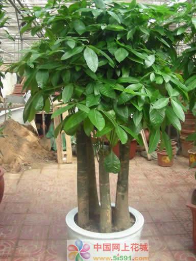 鲜花订购-发财树12