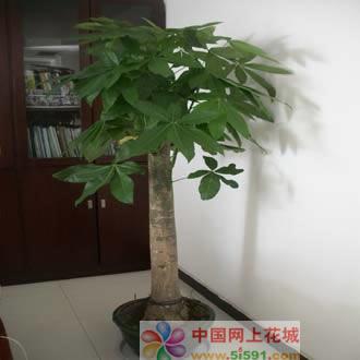 网上花店-发财树14