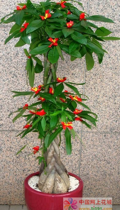 鲜花礼品-发财树15
