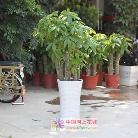 订花服务-发财树16