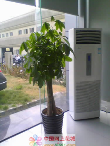 送花-发财树17