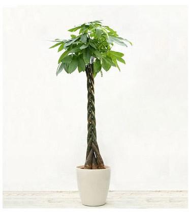 订花-发财树16