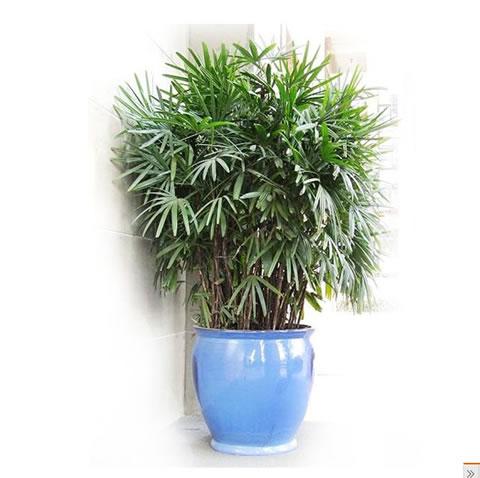 鲜花店-棕竹