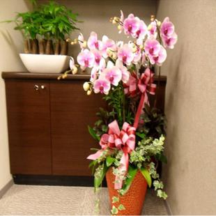 兰之馨绿植花卉-蝴蝶兰