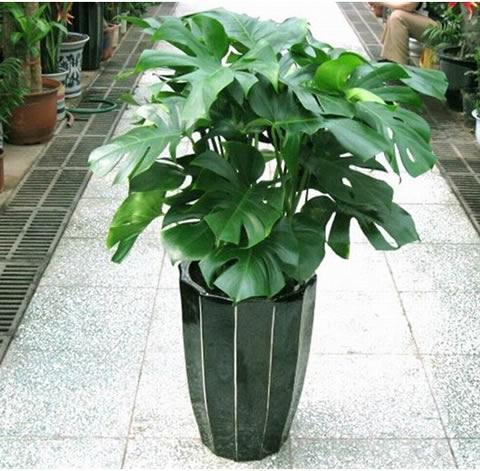 兰之馨绿植花卉-龟背竹2
